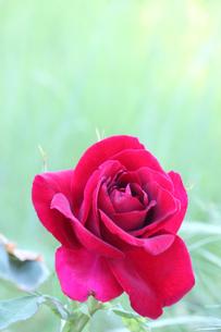 薔薇の写真素材 [FYI00178321]