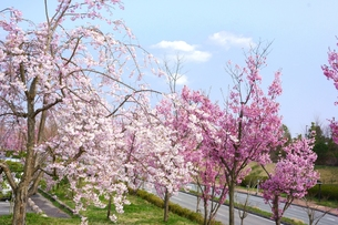 桜の写真素材 [FYI00178351]