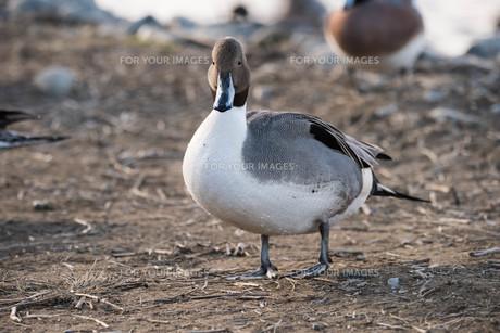 かわいい鴨の素材 [FYI00178368]