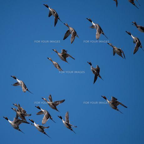 鴨の飛翔の写真素材 [FYI00178390]