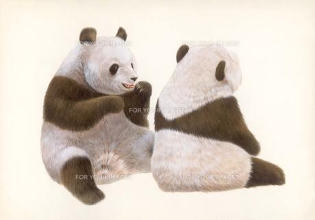 パンダ2態の写真素材 [FYI00178417]