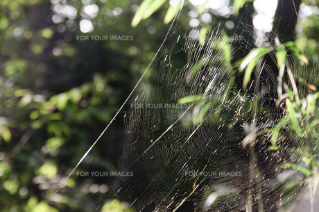 森の中の蜘蛛の巣の写真素材 [FYI00178548]
