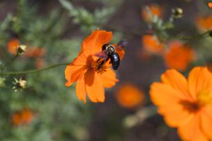花とクマバチの写真素材 [FYI00178556]