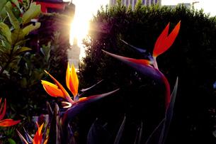 向かい合う極楽鳥花の写真素材 [FYI00178566]