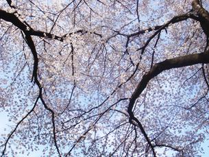 桜の写真素材 [FYI00178879]