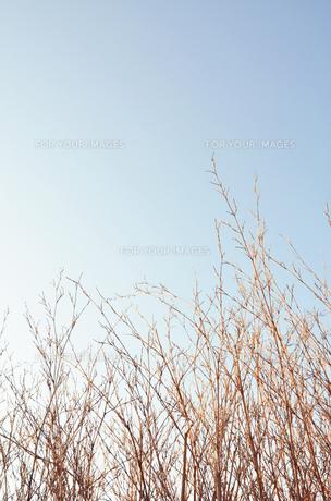 ほうき草の写真素材 [FYI00178937]