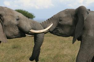 アフリカ象の戦いの写真素材 [FYI00179226]