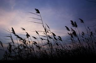 葦原の写真素材 [FYI00179393]