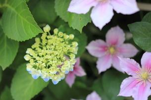 紫陽花とクレマチスの写真素材 [FYI00179421]