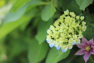 紫陽花の写真素材 [FYI00179425]