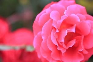 ピンクの薔薇の写真素材 [FYI00179428]