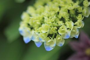紫陽花の写真素材 [FYI00179432]