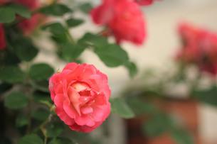 赤い薔薇の写真素材 [FYI00179439]