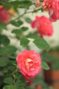 赤い薔薇の写真素材 [FYI00179449]
