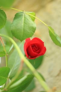 赤い薔薇の写真素材 [FYI00179453]