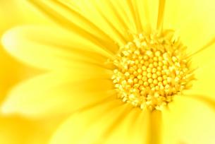 ランの館の菊の写真素材 [FYI00179697]