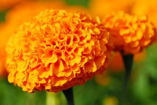 ランの館の菊の写真素材 [FYI00179706]