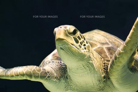 ウミガメの写真素材 [FYI00179753]