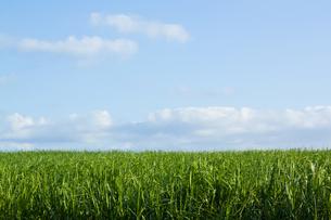サトウキビ畑の写真素材 [FYI00179767]