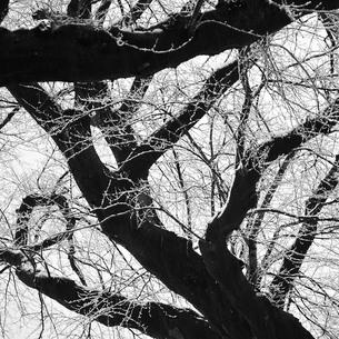 雪を薄くのせた桜の木の写真素材 [FYI00179869]