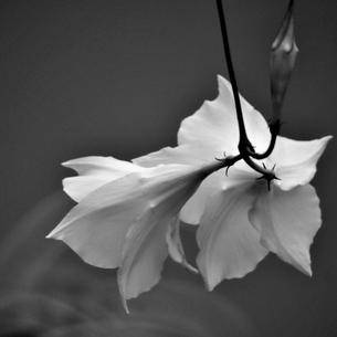 花物語 モノクロの写真素材 [FYI00179897]