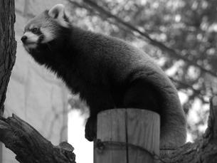 悩むレッサーパンダの写真素材 [FYI00179971]