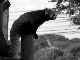 遠くを眺めるレッサーパンダの写真素材 [FYI00179973]