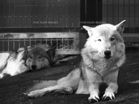 だれてる狼の写真素材 [FYI00179988]