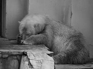 顔を隠して寝るホッキョクグマの写真素材 [FYI00179995]