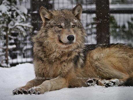 雪の中の狼の写真素材 [FYI00179998]