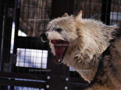 大欠伸の狼の写真素材 [FYI00179999]