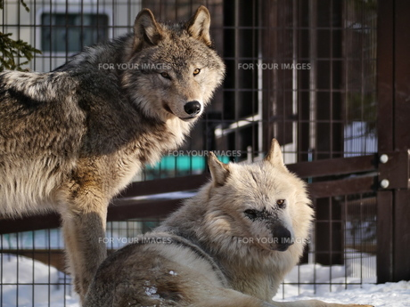 こちらを見ている狼2匹の写真素材 [FYI00180011]