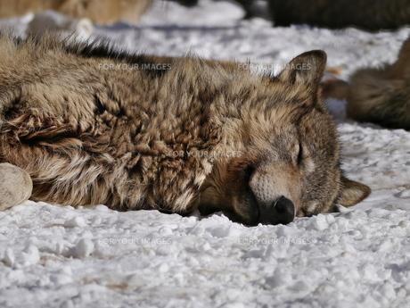雪でも寝ている狼の写真素材 [FYI00180020]