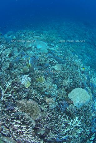 サンゴの群生の素材 [FYI00180108]