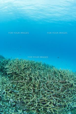 サンゴの群生の素材 [FYI00180154]