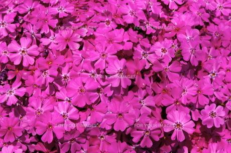ピンクの芝桜の写真素材 [FYI00180184]