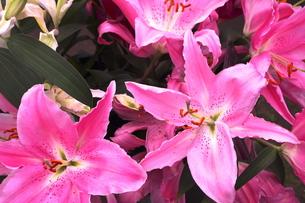 ピンクのオリエンタルリリーの写真素材 [FYI00180225]