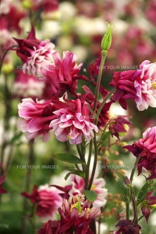 八重咲きの西洋オダマキの素材 [FYI00180227]