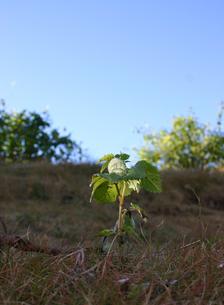 枯れた土地に芽吹く木の写真素材 [FYI00180281]