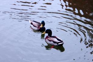 水面でよりそう2羽の鴨の素材 [FYI00180292]