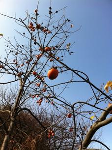 秋空をバックに実る柿の実の素材 [FYI00180296]