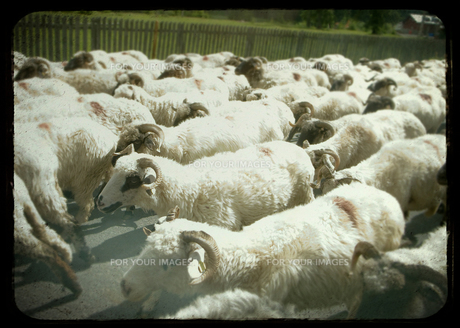 羊の群れの写真素材 [FYI00180318]