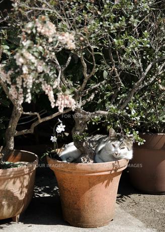 植木鉢の中の猫の写真素材 [FYI00180341]
