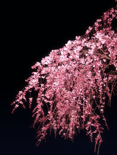 夜のしだれ桜の写真素材 [FYI00180369]