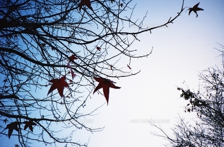 冬枝の素材 [FYI00180382]
