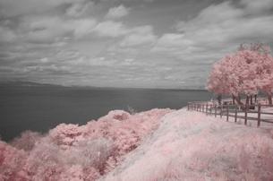 モノクロと偽の桜の写真素材 [FYI00180386]