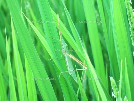 青い稲とショウリョウバッタの写真素材 [FYI00180407]