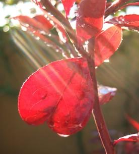 ハートの赤い葉っぱの写真素材 [FYI00180495]