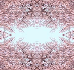 サクラの木と青空の写真素材 [FYI00180499]