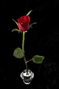 赤いバラ 一輪挿し 黒バックの写真素材 [FYI00180564]